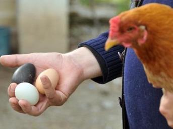 Siyah renkli yumurtlayan tavuk