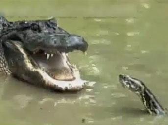Pitonla timsahın ölümüne kavgası